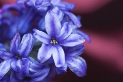 De Bloem van de hyacint Stock Afbeeldingen
