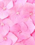De bloem van de hydrangea hortensia royalty-vrije stock afbeelding