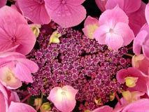 De bloem van de hydrangea hortensia royalty-vrije stock foto's