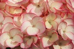 De bloem van de hydrangea hortensia Stock Afbeeldingen
