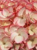 De bloem van de hydrangea hortensia Stock Foto