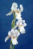 De bloem van de iris Royalty-vrije Stock Fotografie