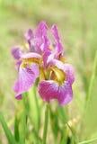 De bloem van de iris Royalty-vrije Stock Afbeelding