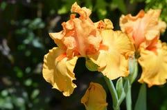 De bloem van de iris stock foto