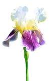 De bloem van de iris die op wit wordt geïsoleerdh Stock Afbeelding