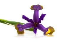 De Bloem van de iris (Versicolor Iris) Stock Afbeeldingen