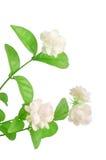 De bloem van de jasmijn royalty-vrije stock foto's