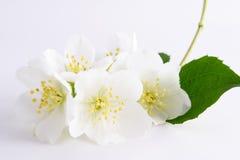 De bloem van de jasmijn Royalty-vrije Stock Afbeelding