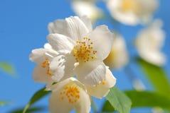 De bloem van de jasmijn Royalty-vrije Stock Afbeeldingen
