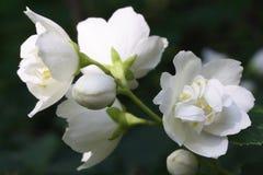 De bloem van de jasmijn royalty-vrije stock foto
