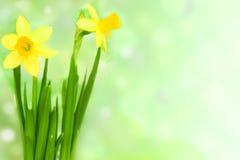 De bloem van de jonquille Royalty-vrije Stock Fotografie
