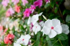 De bloem van de kaapmaagdenpalm Stock Foto's