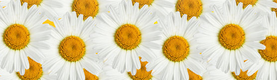 De bloem van de kamille Stock Afbeeldingen