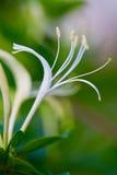 De bloem van de kamperfoelie Stock Foto's