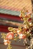 De bloem van de kanonskogelboom Stock Foto