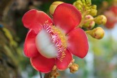 De bloem van de kanonskogelboom (Couroupita-guianensis) over groene backgr Stock Foto's
