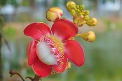 De bloem van de kanonskogelboom (Couroupita-guianensis) over groene backgr Stock Fotografie