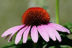 De bloem van de kegel Stock Afbeelding
