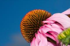 De Bloem van de kegel (echinacea) Royalty-vrije Stock Foto's