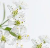 De bloem van de kers Stock Afbeelding