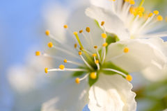De bloem van de kers Royalty-vrije Stock Afbeelding
