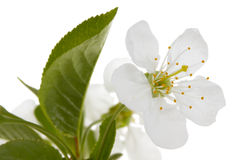 De bloem van de kers Stock Foto