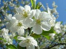 De bloem van de kers royalty-vrije stock afbeeldingen