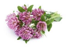 De bloem van de klaver die op witte achtergrond wordt geïsoleerd Stock Foto
