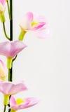 De bloem van de klimop Stock Afbeeldingen