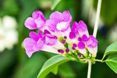 De bloem van de knoflookwijnstok Stock Foto