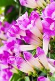 De bloem van de knoflookwijnstok Stock Afbeeldingen