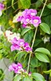 De bloem van de knoflookwijnstok Royalty-vrije Stock Afbeelding
