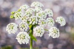 De bloem van de koepeterselie stock afbeeldingen