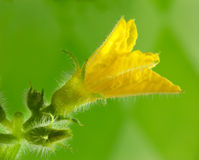 De bloem van de komkommer Royalty-vrije Stock Afbeelding