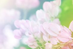 De bloem van de koraalwijnstok met zacht achtergrondfiltereffect Royalty-vrije Stock Fotografie