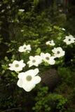 De bloem van de kornoelje Stock Fotografie