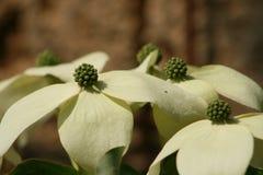 De bloem van de kornoeljeboom Stock Foto's