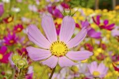 De bloem van de kosmos Stock Fotografie