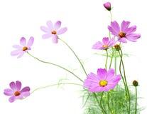 De bloem van de kosmos Stock Foto