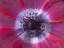 De bloem van de kosmos Stock Afbeeldingen