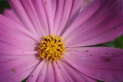 De bloem van de kosmos Royalty-vrije Stock Afbeelding