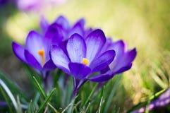 De bloem van de krokus Stock Afbeeldingen