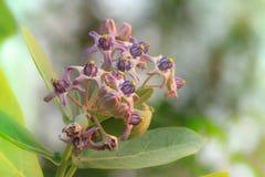 De bloem van de kroon Stock Fotografie