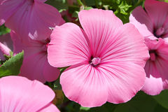 De bloem van de Lavateratuin Royalty-vrije Stock Foto