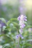 De bloem van de lavendel Royalty-vrije Stock Afbeelding