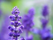 De bloem van de lavendel Royalty-vrije Stock Afbeeldingen