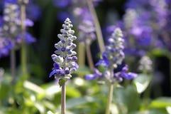 De bloem van de lavendel Royalty-vrije Stock Foto's