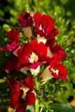 De bloem van de leeuwebek royalty-vrije stock afbeelding