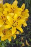 De bloem van de lelie stock foto's