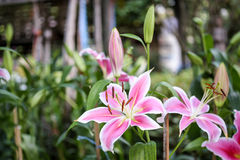 De bloem van de lelie Royalty-vrije Stock Afbeeldingen